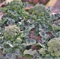 菜園でブロッコリーが採れました